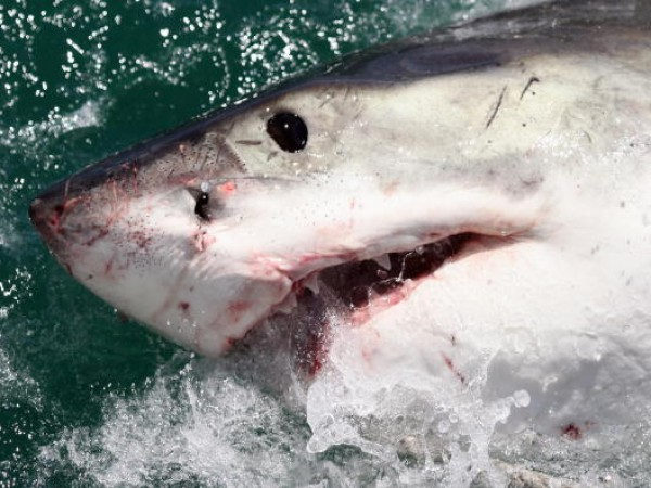 Great White Shark Attacks Kayaker in Cape Cod