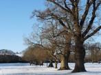 Oak Trees in the Winter