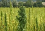 Cannabis Cultivated For Hemp