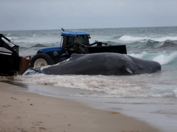 Sperm Whale Beached In Boca