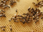 Urban Beekeeping Growing In Popularity