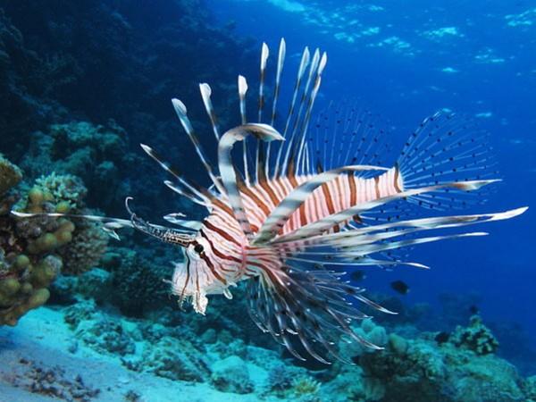 Lionfish - Pterois miles