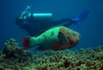 Parrotfish and Diver