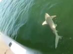 Ever see a fish eat a shark? Well, now you have. Enjoy your nightmares.